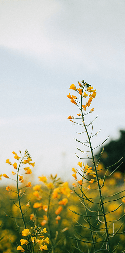 Picture of yellow flowers in a field.